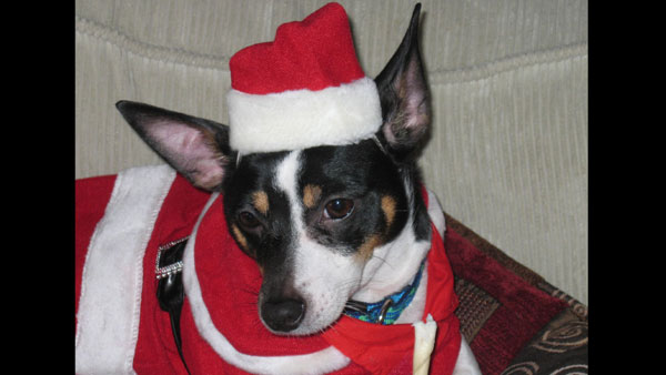 Jessica Lynn: This is my baby!!! His name is Romeo and he is a 3-year-old toy fox terrier born on january 2nd. Please add him to your line-up!!! I'd love to see him on the website and even more on TV!!!