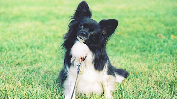 Larry Dougherty: Here is a photo of my best friend, Furby, a sweet female Papillon.