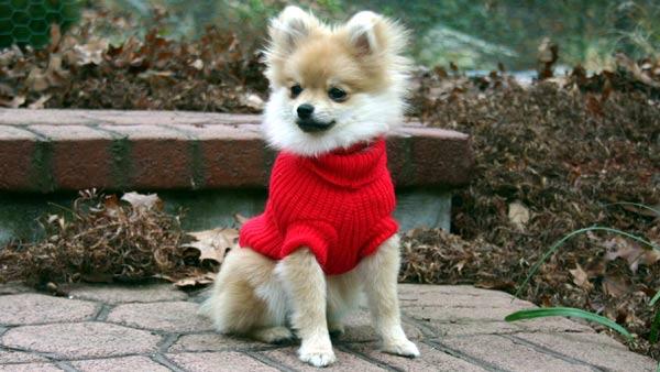 Donna Pozzuoli: Tedi, our 1-year-old Pomeranian.